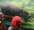Ippopotami allo zoo